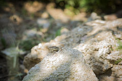 Lizard resting on stones Royalty Free Stock Images