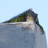 Lizard resting on a wall with blurred background Stock Photography