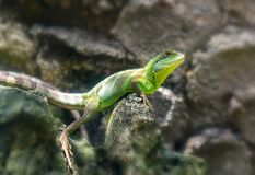 The lizard rests on the rock in the zoo Royalty Free Stock Photo