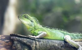The lizard rests on the rock in the zoo Royalty Free Stock Images