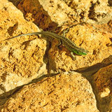 Lizard rests on a stone. Stock Photos