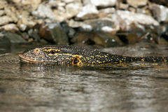 Lizard in River Nile - Uganda, Africa. Lake Victoria - The Source of The River Nile - Uganda - The Pearl of Africa Royalty Free Stock Photo