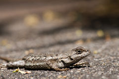 Lizard on the Road Stock Photo