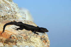 Lizard on the rock Royalty Free Stock Image