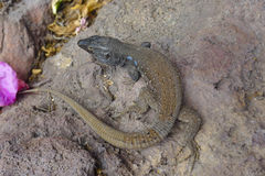 Lizard on rock. Lizard - Gallotia Galloti - the Canaries islands Royalty Free Stock Images