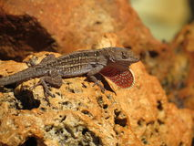 Lizard on a rock Royalty Free Stock Images