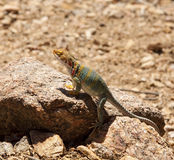 Lizard in sun stock photos
