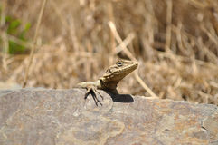 Lizard on Rock. Stock Photos