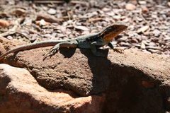 Lizard On A Rock. Lizard basking in the sun on a rock Stock Images
