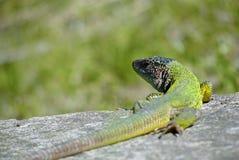 Lizard on a rock Stock Photos