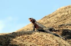 Lizard on Rock Stock Photo