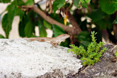 Lizard on a rock Royalty Free Stock Photography