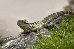 Lizard On The Rock Stock Photos
