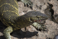 Lizard on rock. A lizard with blooded mouth (after eating fish) is sitting on rock. Close-up Stock Photography