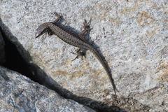 Lizard on the rock. Lizard on the grey rock stock images