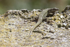 Lizard on the rock Stock Photo