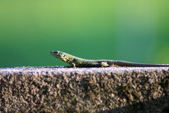 Lizard on rock Royalty Free Stock Photos