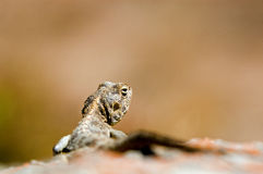 Lizard on rock. Closeup of lizard on rock with brown nature background and copy space Royalty Free Stock Photography