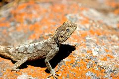 Lizard on a rock. Image of a lizard on a rock in late afternoon sun Royalty Free Stock Photos