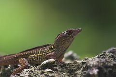 Lizard on rock Royalty Free Stock Image
