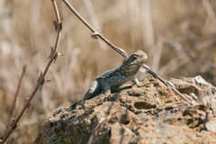 Lizard on a rock against Royalty Free Stock Photography