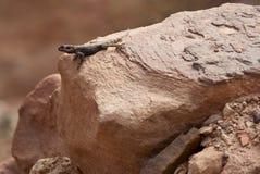 Lizard on rock Stock Photography