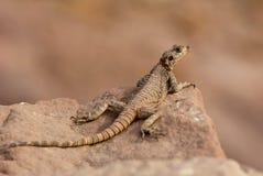Lizard on rock Stock Image