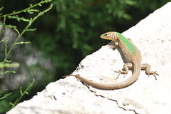 Lizard on a rock. Beautiful lizard sitting on a rock Stock Photos