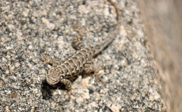 Lizard on a rock - camoflauged Royalty Free Stock Photography