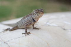 Lizard on the rock stock photo