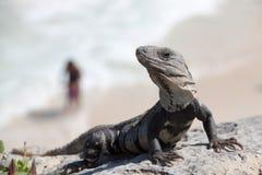 Lizard on a rock Stock Image