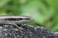 Lizard on a rock Royalty Free Stock Image