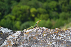 Lizard. On the rock in Crimea Stock Photos