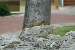 Lizard on rock. Cuba Royalty Free Stock Image