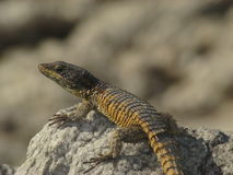 Lizard on rock Stock Image