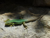 Lizard on the rock Royalty Free Stock Photo