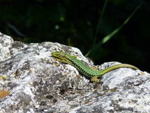 Lizard on the rock Royalty Free Stock Images