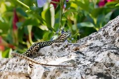 Lizard on a rock with green plants stock image