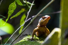 Lizard on a rock in the jungle royalty free stock photo