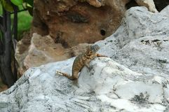 Lizard on rock Stock Photos