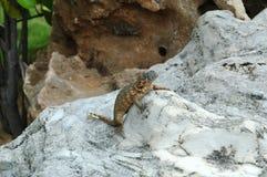 Lizard on rock. Lizas on rock cuba Stock Photos