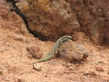 Lizard on the rock. Lizard perched on a rock watching the environment stock image