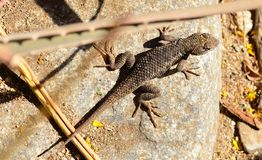 Lizard on rock royalty free stock images