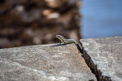 Lizard on the rock. Madeira Portugal. Summer Stock Images