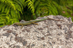 Lizard on rock. Madeira lizard (Teira dugesii) sitting on a rock, fern in background royalty free stock photo