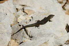 Lizard on a rock, Majorca Stock Images