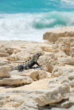 Lizard on rock by ocean Stock Images