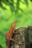 Lizard on Rock. Royalty Free Stock Photography