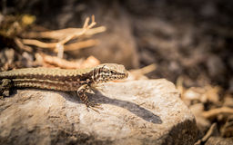 Lizard on the rock Royalty Free Stock Photography