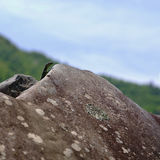 Lizard on a rock Stock Image